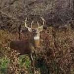 deer scents