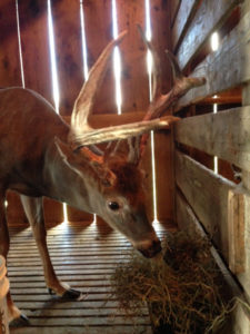 Deer at the Wyoming County Whitetail Farm